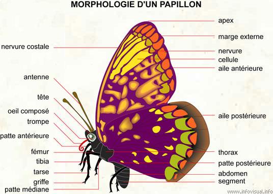 Morphologie d'un papillon selon http://enthomologie.webnode.fr/anatomie-de-linsecte/