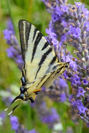 Un flambé - papillon français